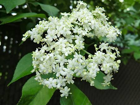 elderberry flower.JPG