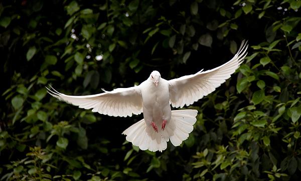飛翔白鴿.jpg