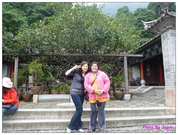 玉峰寺500年古茶花樹