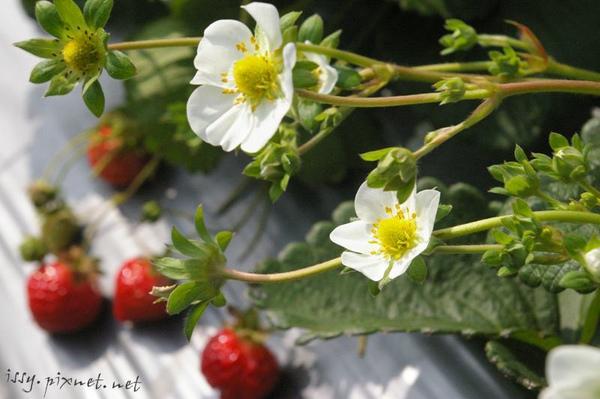 採草莓_2.JPG