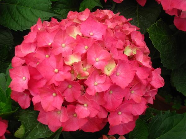 粉紅色繡球花.JPG