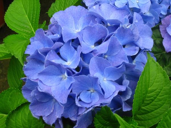 藍色繡球花.JPG
