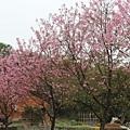 路邊的櫻花