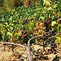 向陽的山坡種滿葡萄.冒著生命危險爬上去