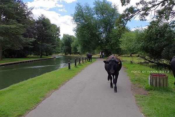 跟牛一起走在同一條道上
