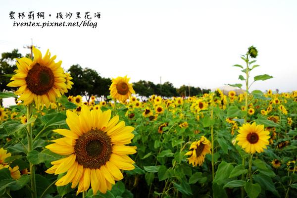 22_雲林莿桐孩沙里花海