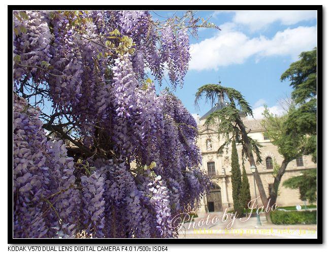 nEO_IMG_32-春天盛開的紫藤-01.jpg