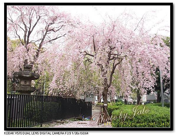 nEO_IMG_2006上野公園吉野櫻.jpg