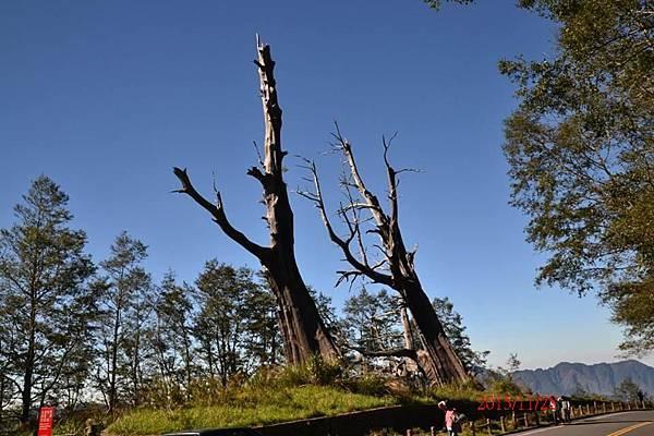 11-28夫妻樹.JPG