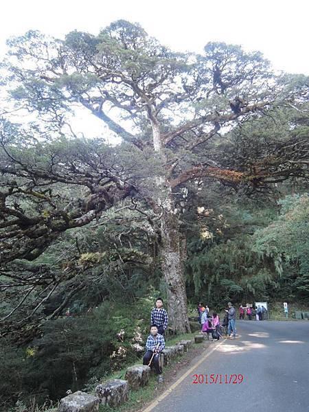 11-29大鐵杉.JPG