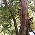 拉拉山神木1.jpg