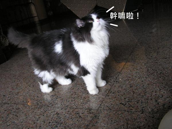 貓 (8).JPG