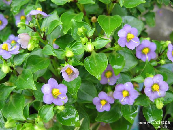 紫芳草01.jpg