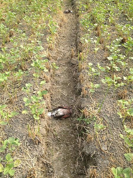 其他農田也有死鳥