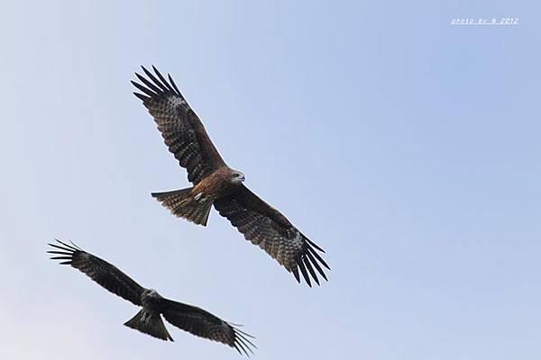 兩隻黑鳶翱翔