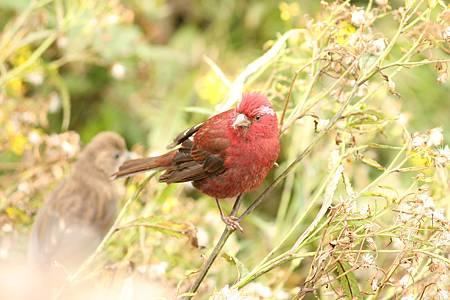 酒紅朱雀公成鳥是酒紅色的IMG_8444