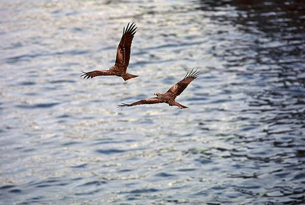 black kite in Keelung Harbor.JPG