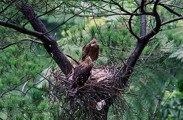 Black Kite couple ready to have a family, would they nurture the chick successfully.JPG