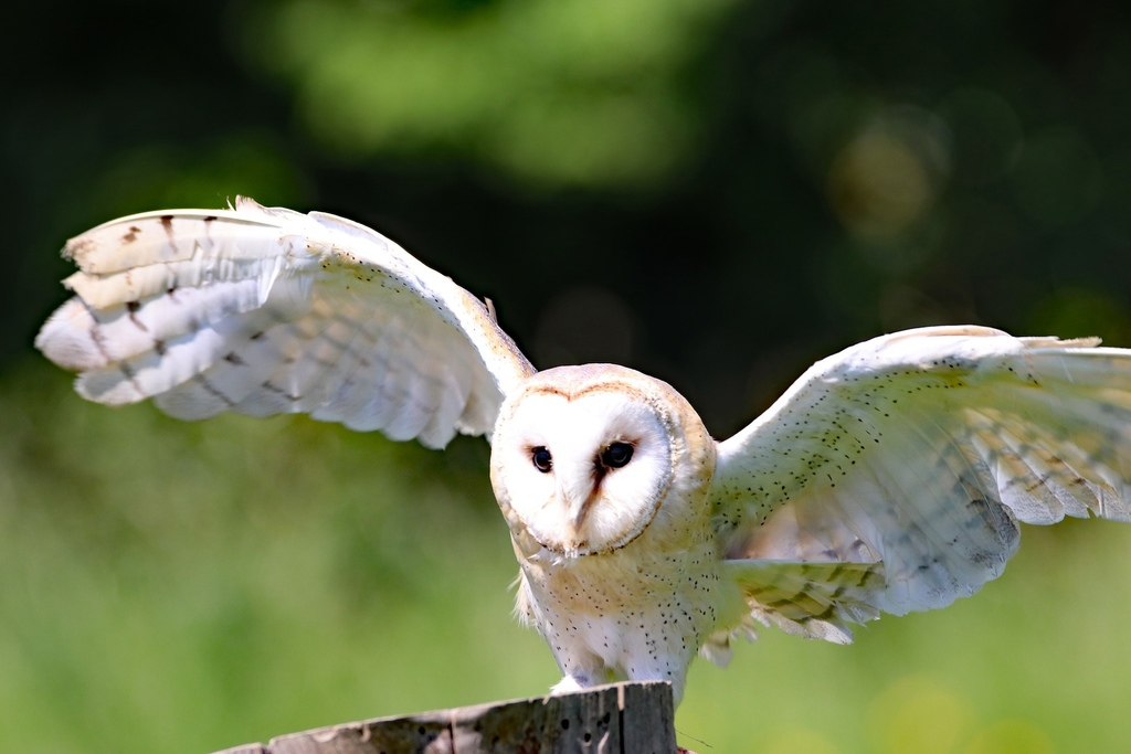 barn-owl-2352059_1920.jpg