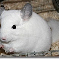 chinchilla-wilson-weiss-chinchilla-lexikon1.jpg