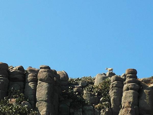 玄武岩上的白山羊