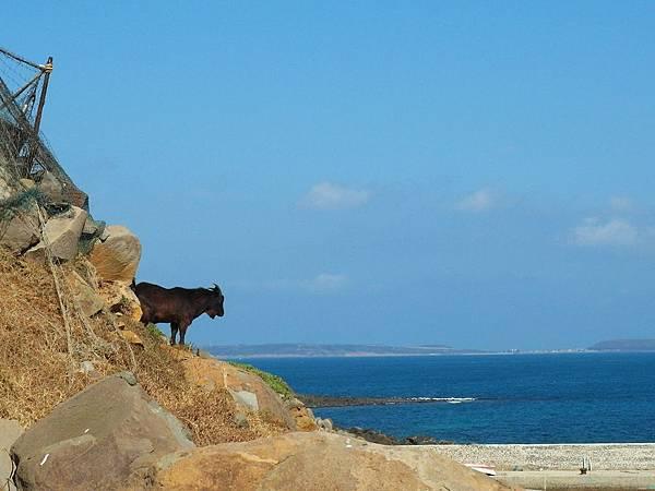 看海的黑山羊