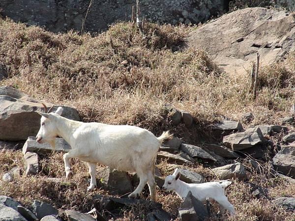 母羊帶小羊