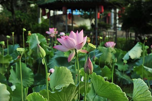 pink-lotus-853682_960_720.jpg