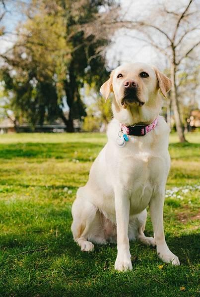 美科學家研發AI導盲犬,望解供不應求的狀況