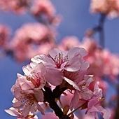 河津櫻,櫻花13-02-2012-125.jpg