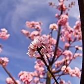 河津櫻,櫻花13-02-2012-123.jpg