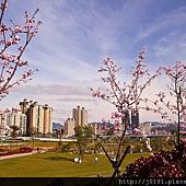 河津櫻,櫻花13-02-2012-174.jpg