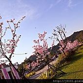 河津櫻,櫻花13-02-2012-178.jpg