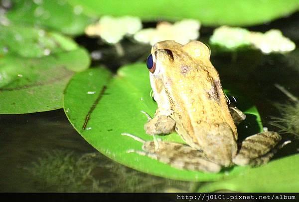 拉都希氏赤蛙,2013-03-23-20h51m43