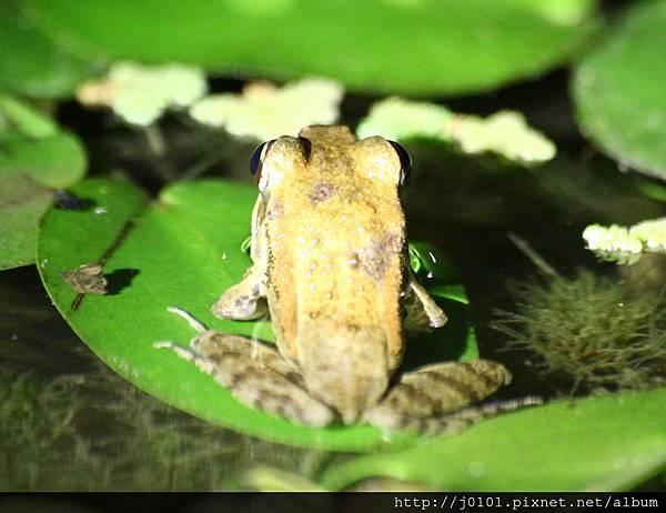 拉都希氏赤蛙,2013-03-23-20h52m02