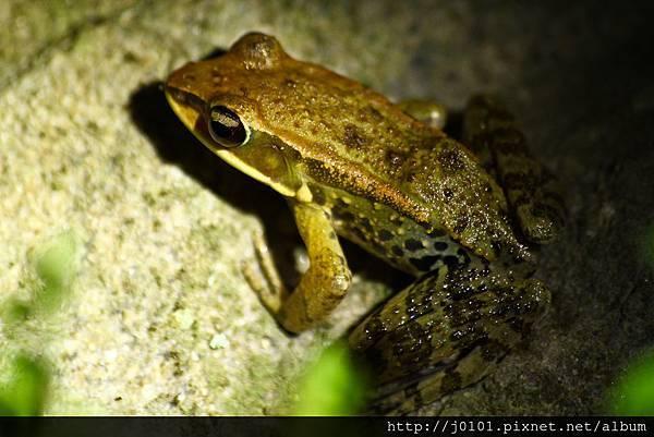 拉都希氏赤蛙,2013-03-23-20h54m42