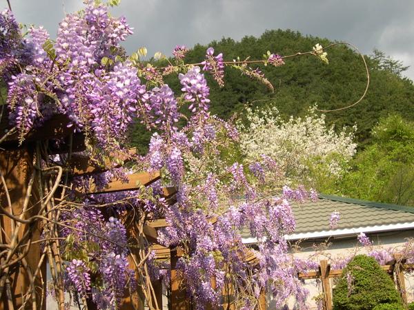 武陵山莊林務局-紫藤 2007.04. (3).JPG