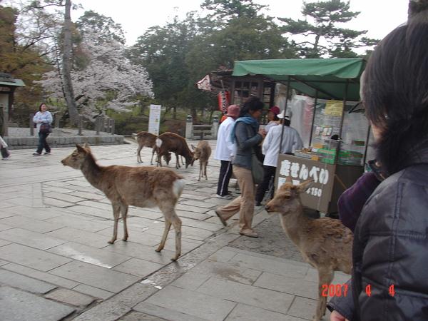 4-4奈良公園及東大寺 -(1).JPG