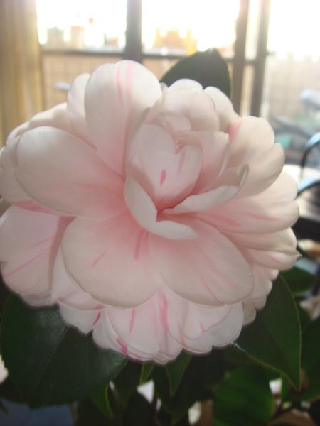 200912月第一朵茶花 (17).JPG