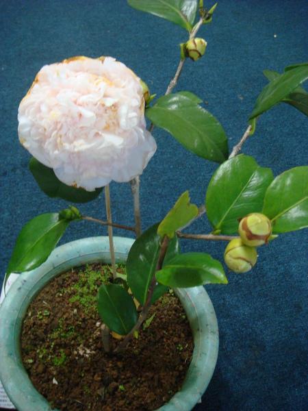 茶花水晶20100109 (19).JPG
