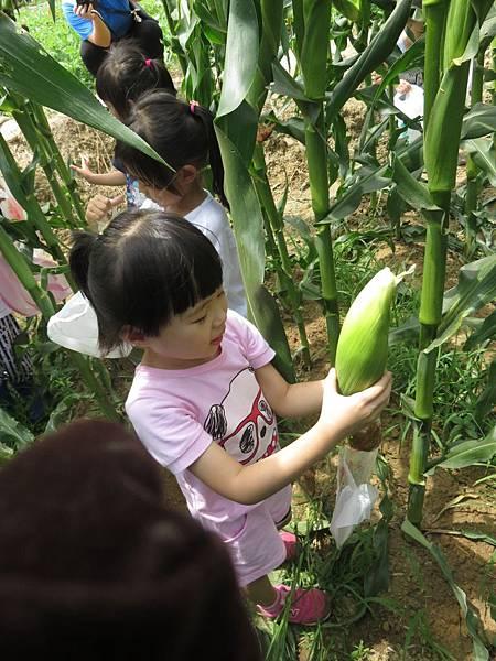 中班玉米 (28).jpg