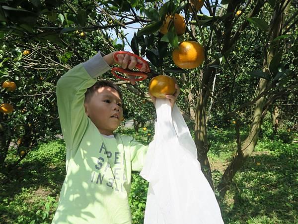0119採橘子大班_190119_0010.jpg