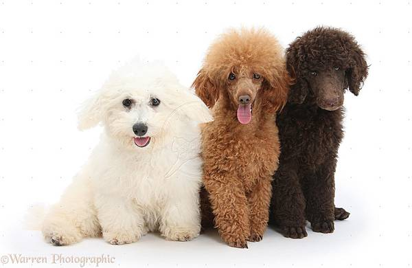 21422-Bichon-Standard-Poodle-pup-and-adult-toy-poodle-white-background