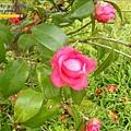 2009.2. 16台七丙線上的櫻花 (25)