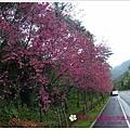 2009.2. 16台七丙線上的櫻花 (5)