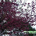 2009.2. 16台七丙線上的櫻花 (9)