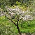2009.3.21阿里山賞櫻 248 (107)