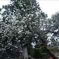 2009.3.21阿里山賞櫻 248 (114)