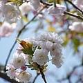 2009.3.21阿里山賞櫻 248 (92)