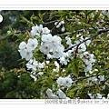 2009.3.21阿里山賞櫻 248 (93)
